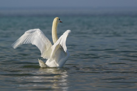 Beautiful white adult mute Swan (lat. Cygnus olor) - spread its wings over the blue water