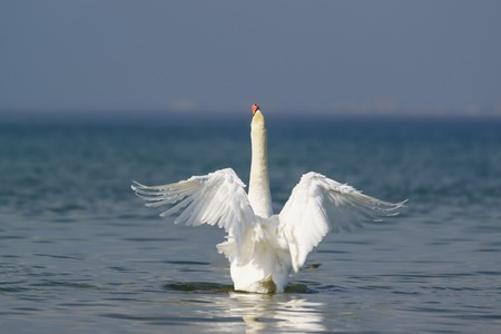 Beautiful white mute Swan (lat. Cygnus olor) - spread its wings over the blue water