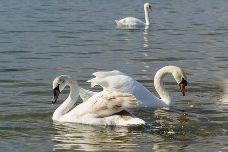 Two swans mute (lat. Cygnus olor) - the young and the adult - wintering in the Black sea near Anapa Stock Photo