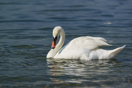 Single white adult mute Swan (lat. Cygnus olor) is a bird of the duck family, with a wet beak on the blue water Stock Photo