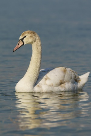 Grown nestling Swan mute (lat. Cygnus olor) is a bird of the duck family on the water in the Black sea