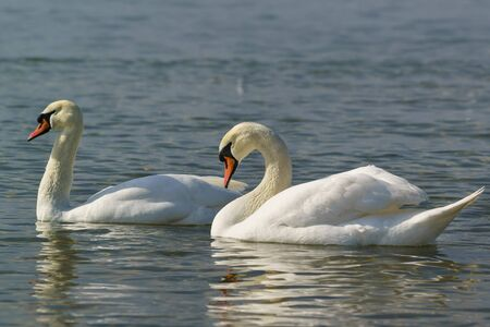 Beautiful pair of adult white swans mute (lat. Cygnus olor) is a bird of the duck family on the water