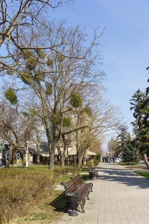 eukaryotic: Anapa, Krasnodar Krai, Russia - March 08.2017: Tree with parasitic plant Mistletoe (lat. Víscum) in the city Park. Early spring Editorial