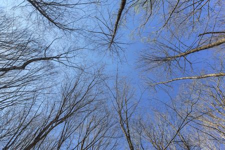 Clear blue sky over the small meadow in spring leafless forest