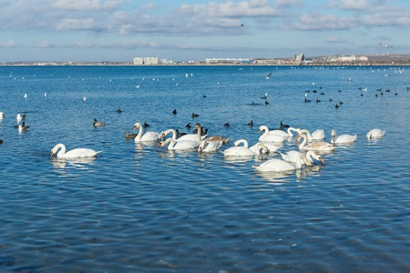 A lot of waterfowl: coot, or flatted (lat. Fulica atra), Mallard (lat. Anas platyrhynchos), mute Swan (lat. Olor Cygnus) wintering in the Black sea city of Anapa in Krasnodar region. The blue expanse of water