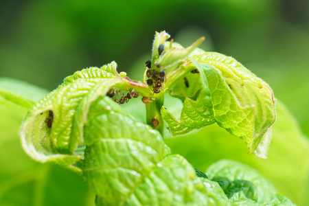 Young green shoot viburnum, aphids damaged (lat. Aphidoidea) and ants (lat. Formicidae)