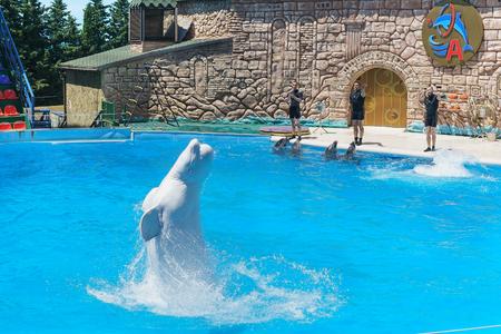 bottlenose: Adler, Sochi, Krasnodar Krai, Russia - June 11.2017: the white (lat. Delphinapterus leucas), bottlenose dolphins (lat. Tursiops truncatus) jumping over the water to show at the Adler Dolphinarium