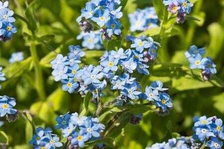 Zarte blaue Blumen des Vergissmeinnicht-Alpengartens (Lat. (Myosotis hybrida, englisch. Vergissmeinnicht) mit einer weißen und gelben Mitte im Blumenbeet im Frühlingsgarten Standard-Bild - 89538029