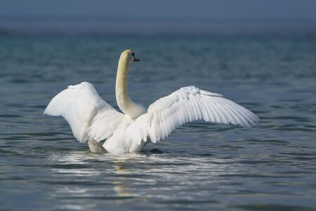 Beautiful white adult mute Swan (lat. Cygnus olor) flapping wings on blue water