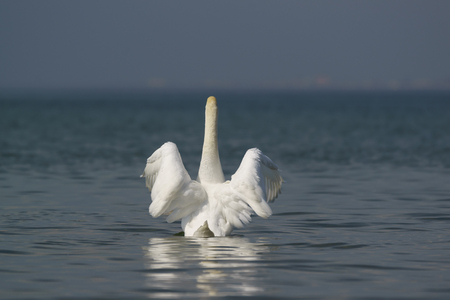 Beautiful white mute Swan (lat. Cygnus olor) - spreads its wings over the blue water
