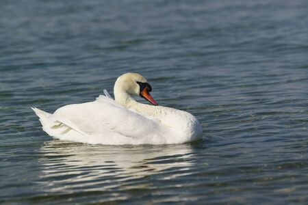 One adult white mute Swan (lat. Cygnus olor) is a bird of the duck family - resting on blue water Stock Photo