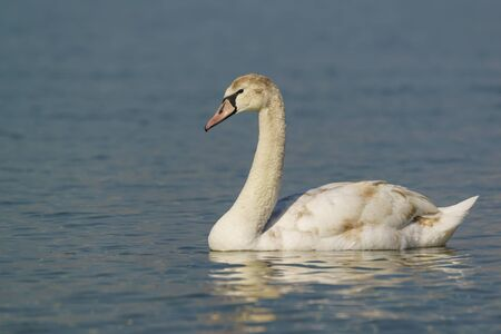 Annual young mute Swan (lat. Cygnus olor) is a bird of the duck family on the water in the Black sea
