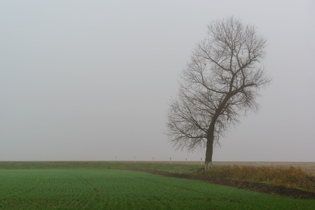 A silhouette of a lone tree in a dense grey fog over a field of green shoots. Cold autumn Reklamní fotografie