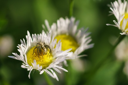 Spider-lynx Oxyopes lineatus on Melkolepestnik or Conclusice annual (lat. Erigeron or Phalacroloma annuus) is a herbaceous plant of the family Asteraceae (Compositae). Sunny day Stock Photo