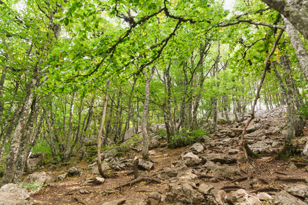 The suns rays do not pass through the leaves of the beech grove on the slope of mount AI-Petri. Rocky trail to the top of the Crimean mountain. Nobody