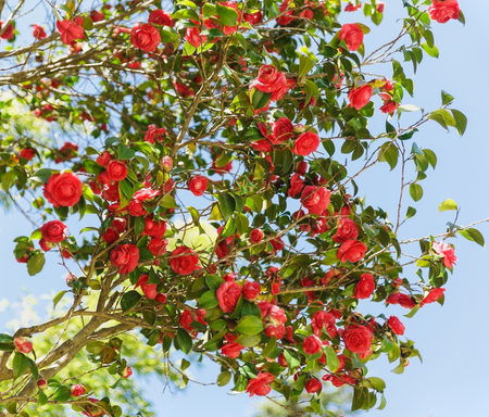 Camellia japonica (lat. Camellia japonica) - una de las especies más famosas del género - contra el cielo azul. Es primavera