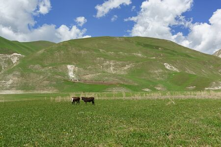 Two cows graze at the foot of the mountains. Botlikh district of the Republic of Dagestan near lake Kezenoi Am. Sunny day in early summer