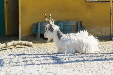 Italian goat breeds of Girgentana with beautiful twisted horns - a descendant of the horned wild goat of mountainous Afghanistan. Lies on the agricultural yard