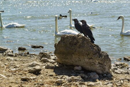 Two birds of a jackdaw (lat. Coloeus monedula, syn. Corvus monedula) sit on a rock near the Swan lake Sasyk-Sivash in the Crimea. Sunny hot day