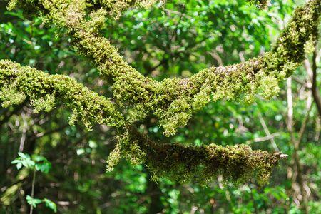 Moss on the branches of trees in a yew-Box grove. Hosta, Sochi, Krasnodar region