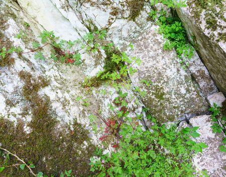Roberts geranium (lat. Geranium robertianum) grows on mossy rock in a yew-Box grove. Hosta, Sochi, Krasnodar region