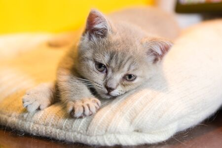 Portrait of a small smoky kitten of the British Shorthair breed on a knitted blanket. The animal looks at the camera. Selective focus Фото со стока