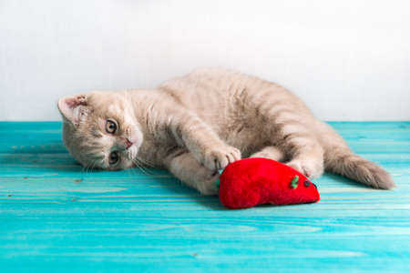 A small cheerful kitten a British Shorthair breed of peach beige cream color plays with a red toy mouse on a blue wooden floor