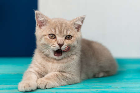 A beautiful British Shorthair kitten lies on the blue wooden floor and licks its lips. look at the camera Фото со стока