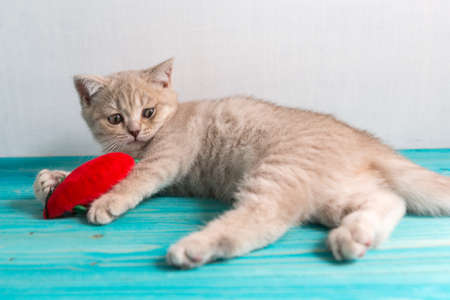 A small cheerful kitten breed British Shorthair peach beige cream color plays with a toy mouse red. Funny surprise