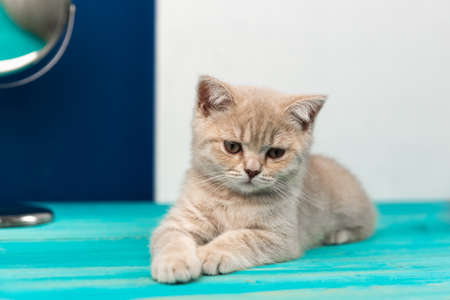A beautiful sad kitten of the British Shorthair breed is lying on the blue wooden floor. Peach beige color Фото со стока