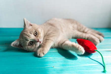 A small British Shorthair kitten of a peach beige cream color plays with a red toy mouse on a blue wooden floor. Looking into the camera