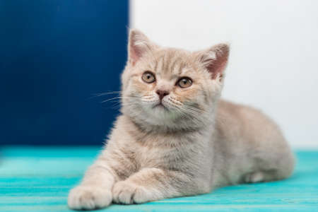A beautiful British Shorthair kitten is lying on the blue wooden floor. Peach beige color