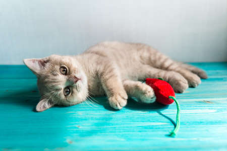 A small British Shorthair kitten of a peach beige cream color plays with a red toy mouse on a blue wooden floor