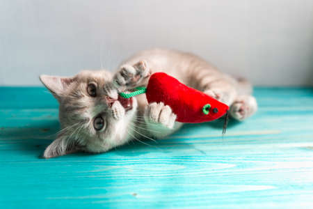 A small British Shorthair kitten of a peach beige cream color plays with a red toy mouse on a blue wooden floor. Small white fangs are visible