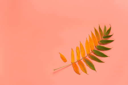 Colorful autumn leaf on a pink background. Flat lay. Copy space