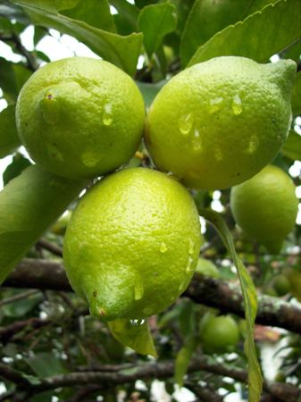 Three lemons in the lemon tree  Stock Photo