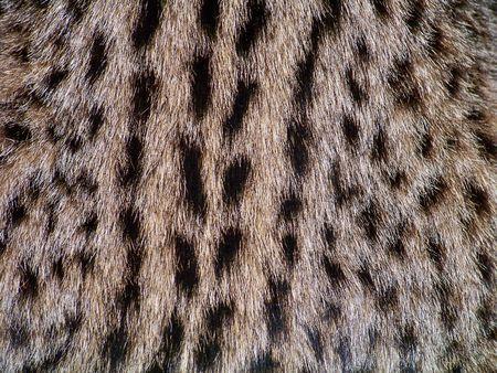 Wild cat texture photo