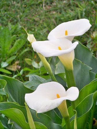 Calla Lillies in the field Stock Photo