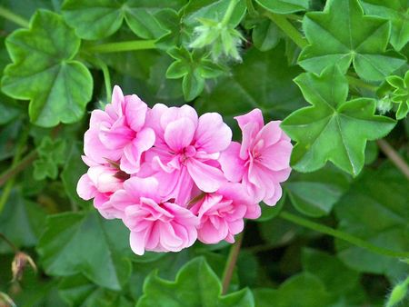rapprochement: Pink flowers in green