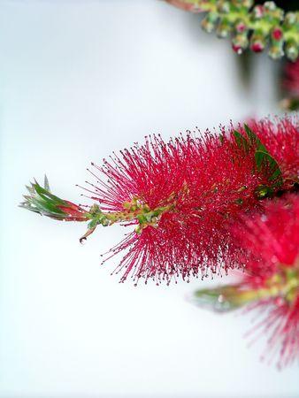 closeups: Red wet flower