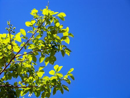 persimmon tree: Persimmon tree leaves and sky