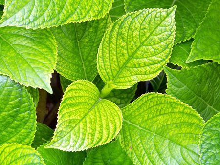 Green hydrangea leaves Stock Photo