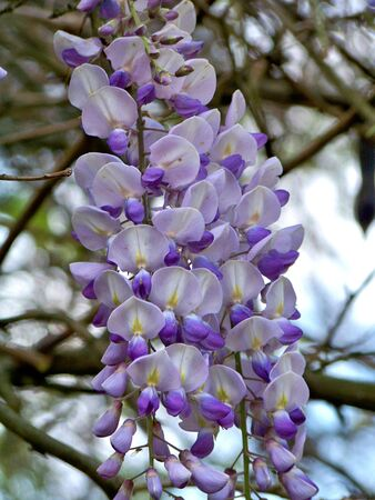 Violet Glicina flowers Stock Photo - 4761032