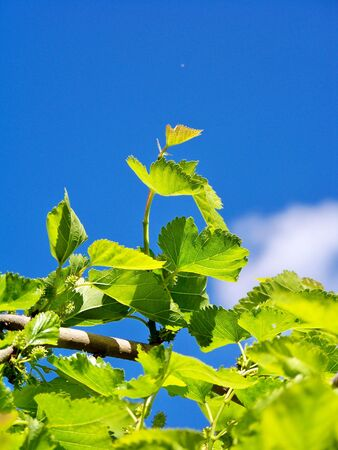 Blackberries plant leaves and sky photo
