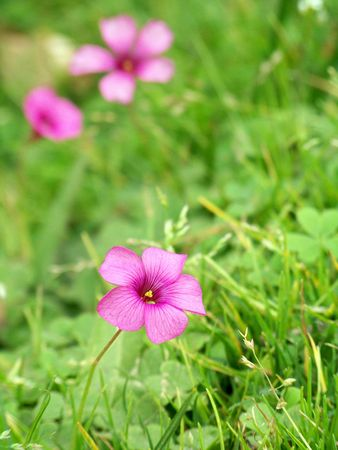 Pink sylvester flower on green grass Stock Photo - 4815133