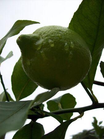 lemon tree: Verde lim�n con gotas de agua de lim�n en el �rbol