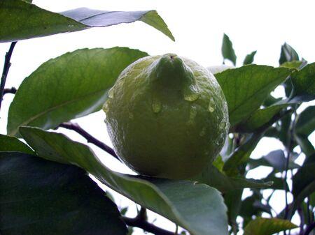 Green wet lemon in the tree Stock Photo - 4897405