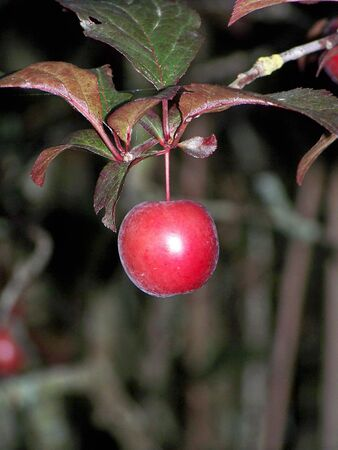 Red plum in the tree