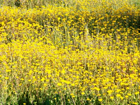 rapprochement: Yellow wild flowers field