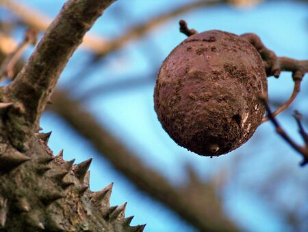 Floss silk tree fruit and trunk Stock Photo